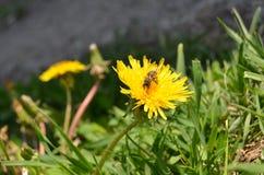 La abeja se sienta en el diente de león Imágenes de archivo libres de regalías