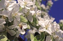 La abeja se sienta en la flor de un manzano floreciente Fotografía de archivo