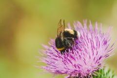 la abeja se sienta en la flor en fondo de la naturaleza Animales del insecto Imagen de archivo