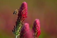 La abeja se sienta en la flor Fotografía de archivo