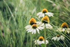 La abeja se sienta en la flor alrededor de una hierba, fondo natural de la margarita Imagen de archivo