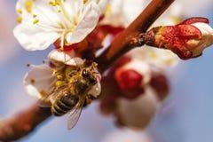 La abeja se sienta en la flor del albaricoque Foto de archivo libre de regalías