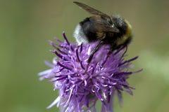 La abeja se sienta en la flor hermosa de una bardana Fotografía de archivo