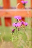 La abeja se sienta en la flor violeta del campo en el jardín cerca de la cerca De bajo Imagenes de archivo