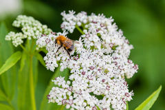 La abeja se sienta en las flores blancas Imágenes de archivo libres de regalías