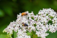La abeja se sienta en las flores blancas Imagen de archivo libre de regalías