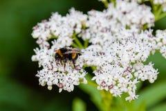 La abeja se sienta en las flores blancas Imagenes de archivo