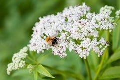 La abeja se sienta en las flores blancas Fotos de archivo libres de regalías