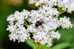 La abeja se sienta en las flores blancas Fotografía de archivo