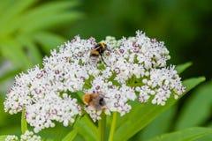 La abeja se sienta en las flores blancas Fotografía de archivo libre de regalías
