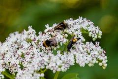 La abeja se sienta en las flores blancas Foto de archivo libre de regalías