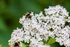 La abeja se sienta en las flores blancas Imagen de archivo