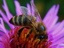 La abeja se sienta en las flores de la primavera Imagenes de archivo