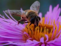 La abeja se sienta en las flores de la primavera Foto de archivo libre de regalías