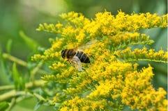La abeja se sienta en los brotes amarillos de pequeñas flores Imagenes de archivo