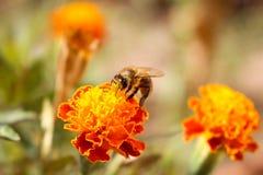 La abeja se sienta en maravilla anaranjada de la flor Fotografía de archivo