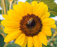 La abeja se sienta en un fondo amarillo del primer de la flor Fotos de archivo libres de regalías
