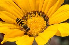 La abeja se sienta en un fondo amarillo del primer de la flor Fotos de archivo