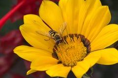 La abeja se sienta en un fondo amarillo del primer de la flor Imagen de archivo libre de regalías