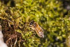La abeja se sienta en un grupo de musgo Fotos de archivo libres de regalías