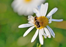 La abeja se sienta en un primer de la margarita Imagen de archivo