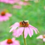 La abeja se sienta en un purpurea del Echinacea de la flor Imagenes de archivo