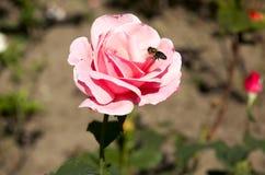 La abeja se sienta en una flor Fotografía de archivo libre de regalías