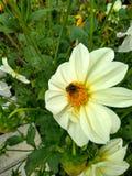 La abeja se sienta en una flor Fotos de archivo libres de regalías