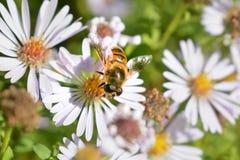 La abeja se sienta en una flor Foto de archivo libre de regalías