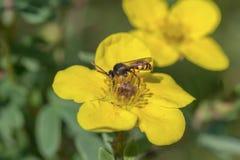 La abeja se sienta en una flor amarilla Foto de archivo libre de regalías