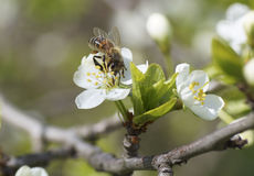 La abeja se sienta en una flor blanca Fotografía de archivo