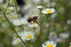 La abeja se sienta en una flor blanca Imagenes de archivo