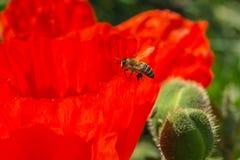 La abeja se sienta en una flor de la amapola Fotos de archivo libres de regalías