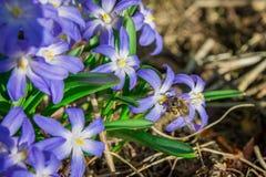 La abeja se sienta en una flor de la primavera Fotografía de archivo