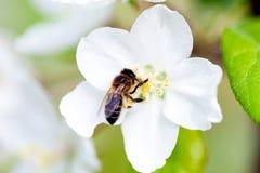 La abeja se sienta en una flor de un Apple-árbol floreciente del arbusto y lo poliniza Foto de archivo libre de regalías