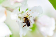 La abeja se sienta en una flor de un Apple-árbol floreciente del arbusto y lo poliniza Fotos de archivo libres de regalías
