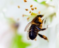 La abeja se sienta en una flor de un Apple-árbol floreciente del arbusto y lo poliniza Foto de archivo