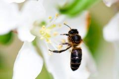 La abeja se sienta en una flor de un Apple-árbol floreciente del arbusto y lo poliniza Fotos de archivo