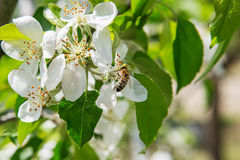 La abeja se sienta en una flor de un manzano y de un político florecientes del arbusto Imágenes de archivo libres de regalías