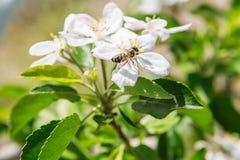 La abeja se sienta en una flor de un manzano y de un político florecientes del arbusto Fotos de archivo libres de regalías