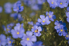La abeja se sienta en una flor púrpura en verano Fotografía de archivo libre de regalías
