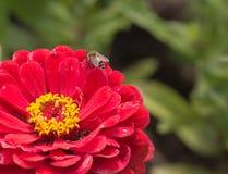 La abeja se sienta en una flor púrpura para recoger la miel Foto de archivo
