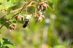 La abeja se sienta en una flor que recoge el polen Foto de archivo libre de regalías