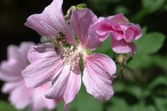 La abeja se sienta en una flor rosada del Sidalcea imagen de archivo libre de regalías