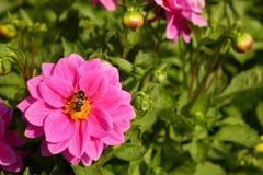 La abeja se sienta en una flor rosada y recoge la miel, polen Fotografía de archivo