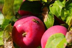 La abeja se sienta en una manzana Imágenes de archivo libres de regalías