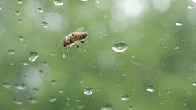 La abeja se sienta en la ventana