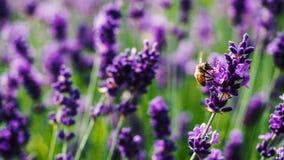 La abeja se va volando macro en una planta de Lavanda Foto de archivo