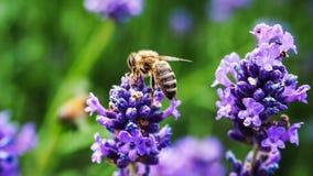 La abeja se va volando macro en una planta de Lavanda Foto de archivo libre de regalías