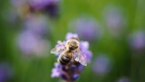 La abeja se va volando macro en una planta de Lavanda Fotos de archivo